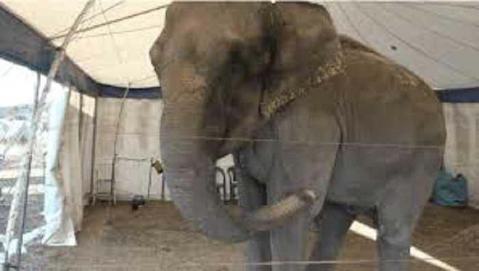 Francia. Ritrovata elefantessa ferita e abbandonata dall'addestratore in una discarica